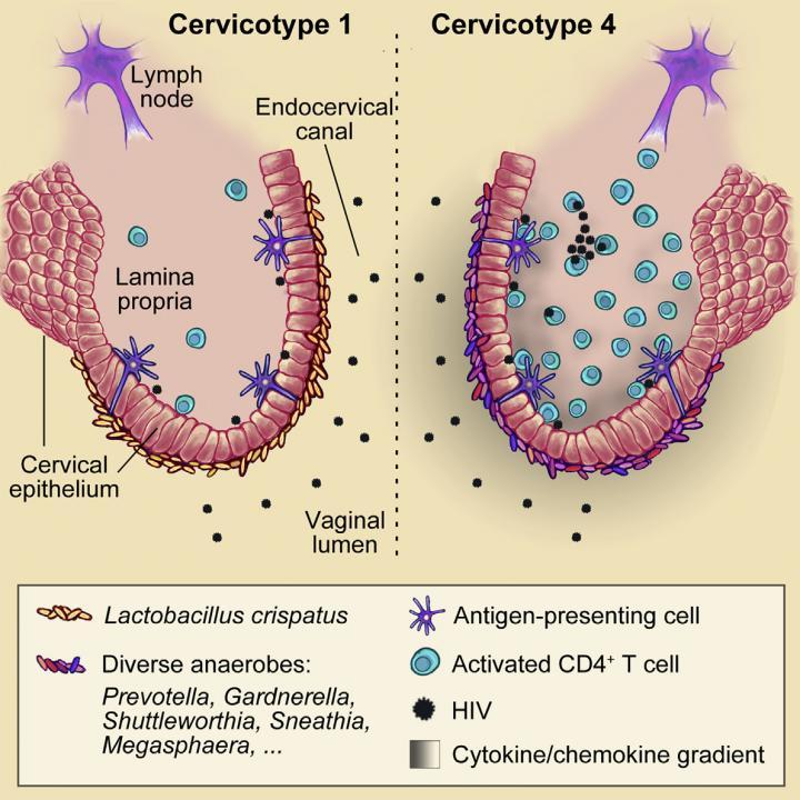Cervicovaginal Bacteria and HIV
