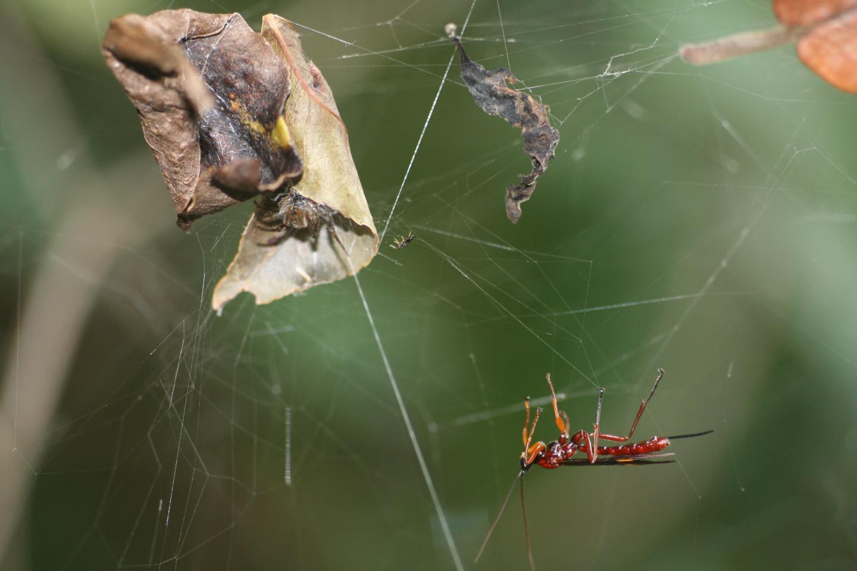 <em>Hymenoepimecis veranii</em> Attacking <em>Araneus omnicolor</em>