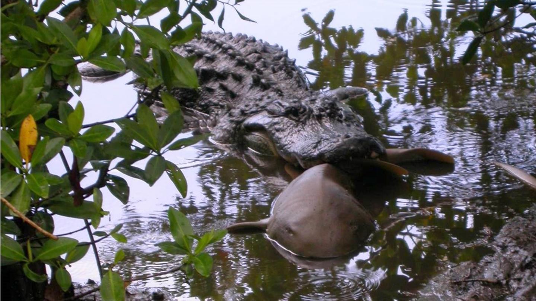 Alligator Eating Nurse Shark