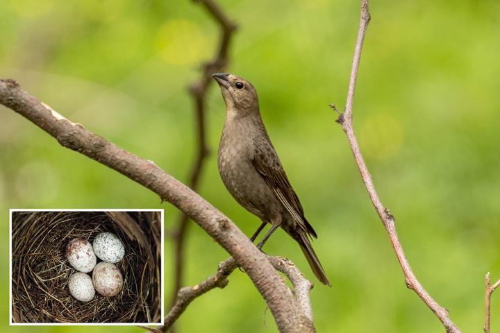 Cowbird Moms Choose Nests Carefully