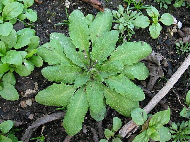 <em>A. thaliana</em>