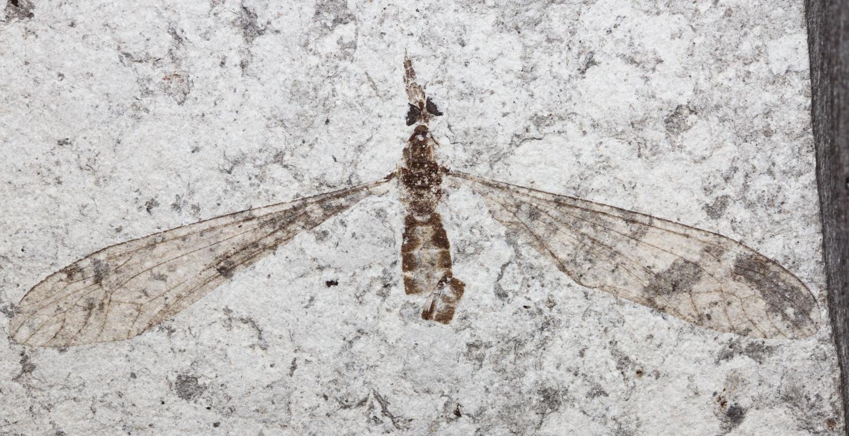 Crane-fly 1