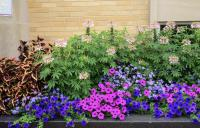 Urbanization Has Nuanced Effects on Plant Flowering Time