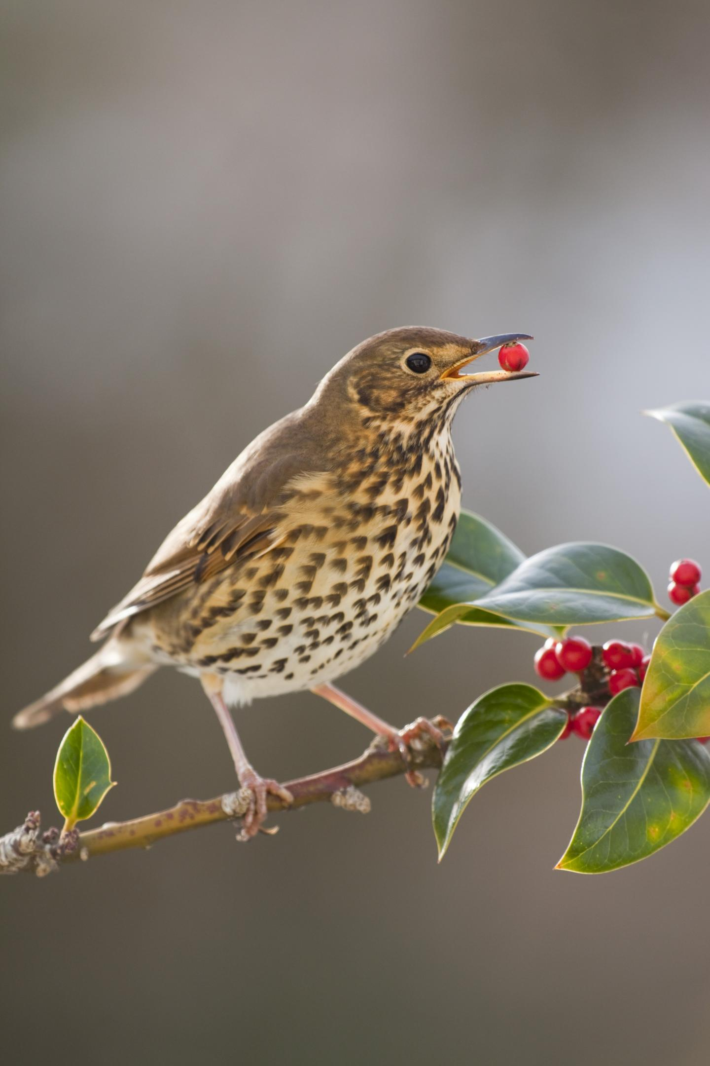 A Song Thrush Eating Holly Fruits
