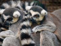 Family of ring-tailed lemurs