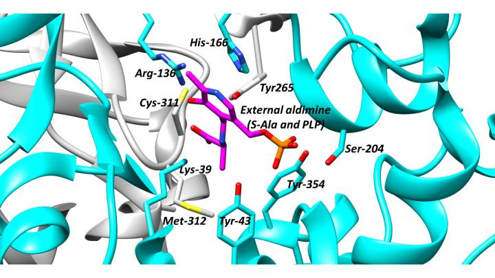 The active site of alanine racemase, a key antibacterial target