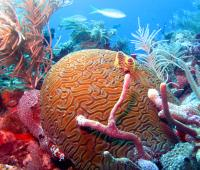 Brain Coral Surrounded by 3 Different Species of Sponges