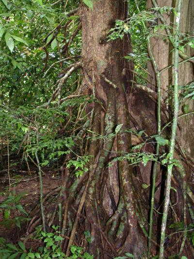 The Distinctive Trunk and Aerial Roots