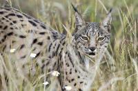 Iberian Lynx (2 of 3)