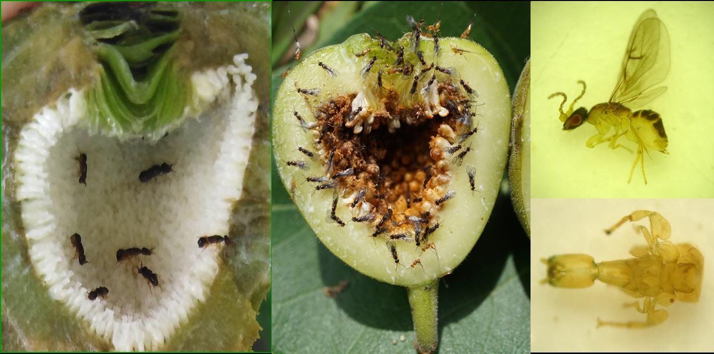 Figs and fig wasps