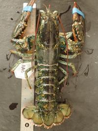 Healthy Lobster