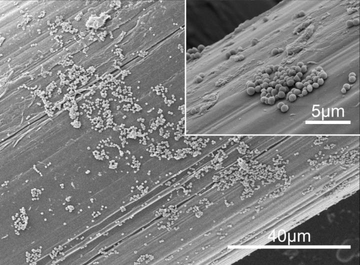 Micrografías SEM del biofilm de <em>S. aureus</em> Formado en la Superficie de la Malla Quirúrgica