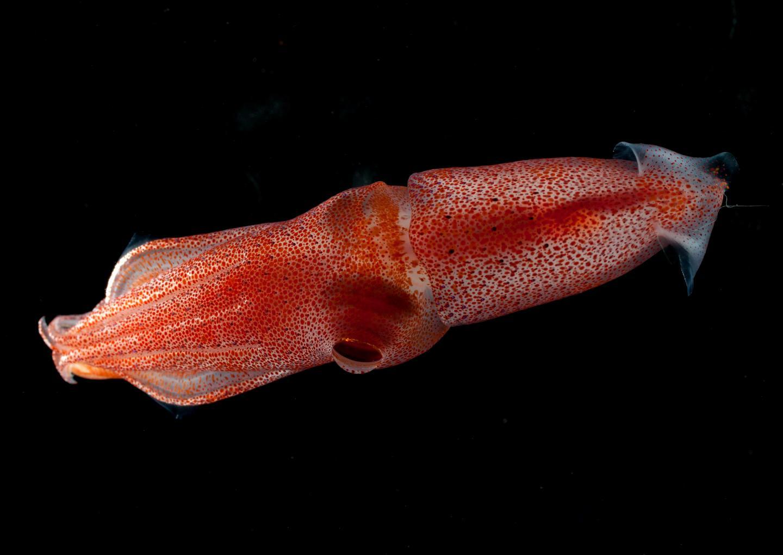 Cockeyed Squid <i>Histioteuthis heteropsis</i> 2