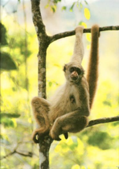 Global Warming Cycles Threaten Endangered Primate Species (2 of 3)