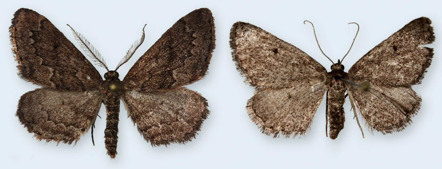 Male and Female of the Portuguese Mystery Moth