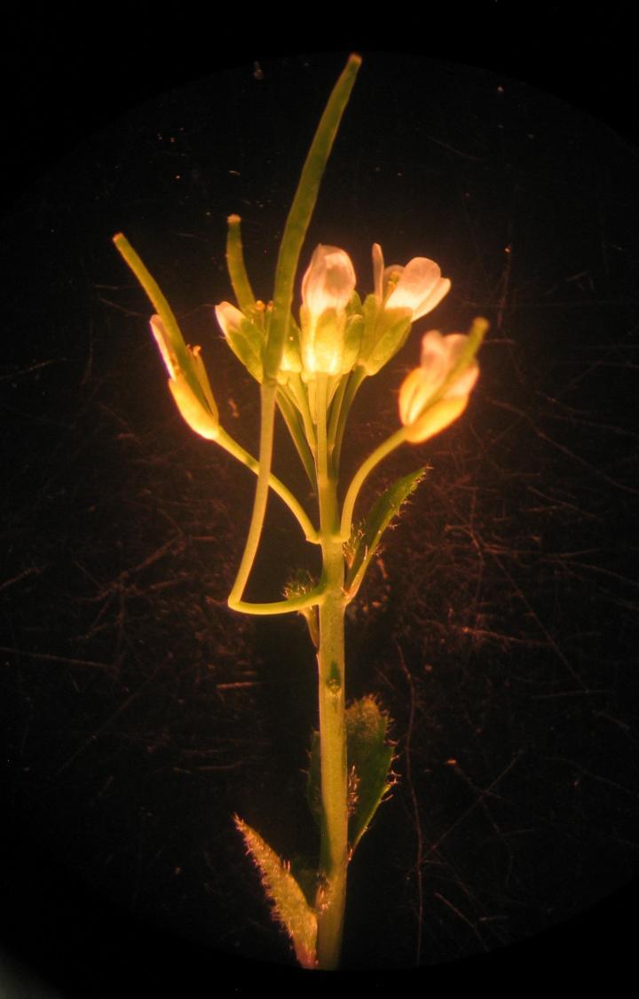 Cantil in <em>Arabidopsis</em> Mutant