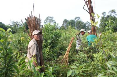Rattan Harvest