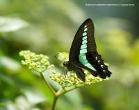 Common Bluebottle (2 of 3)