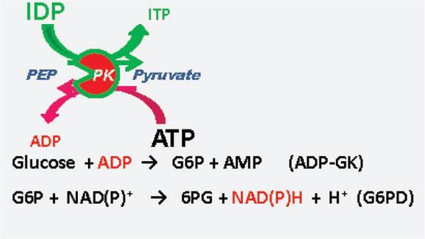 Development of an Enzymatic Cycling Method Using Pyruvate Kinase