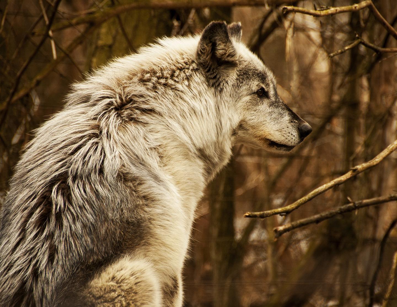 Grey Wolf, Bear Creek Exotic Wildlife Sanctuary