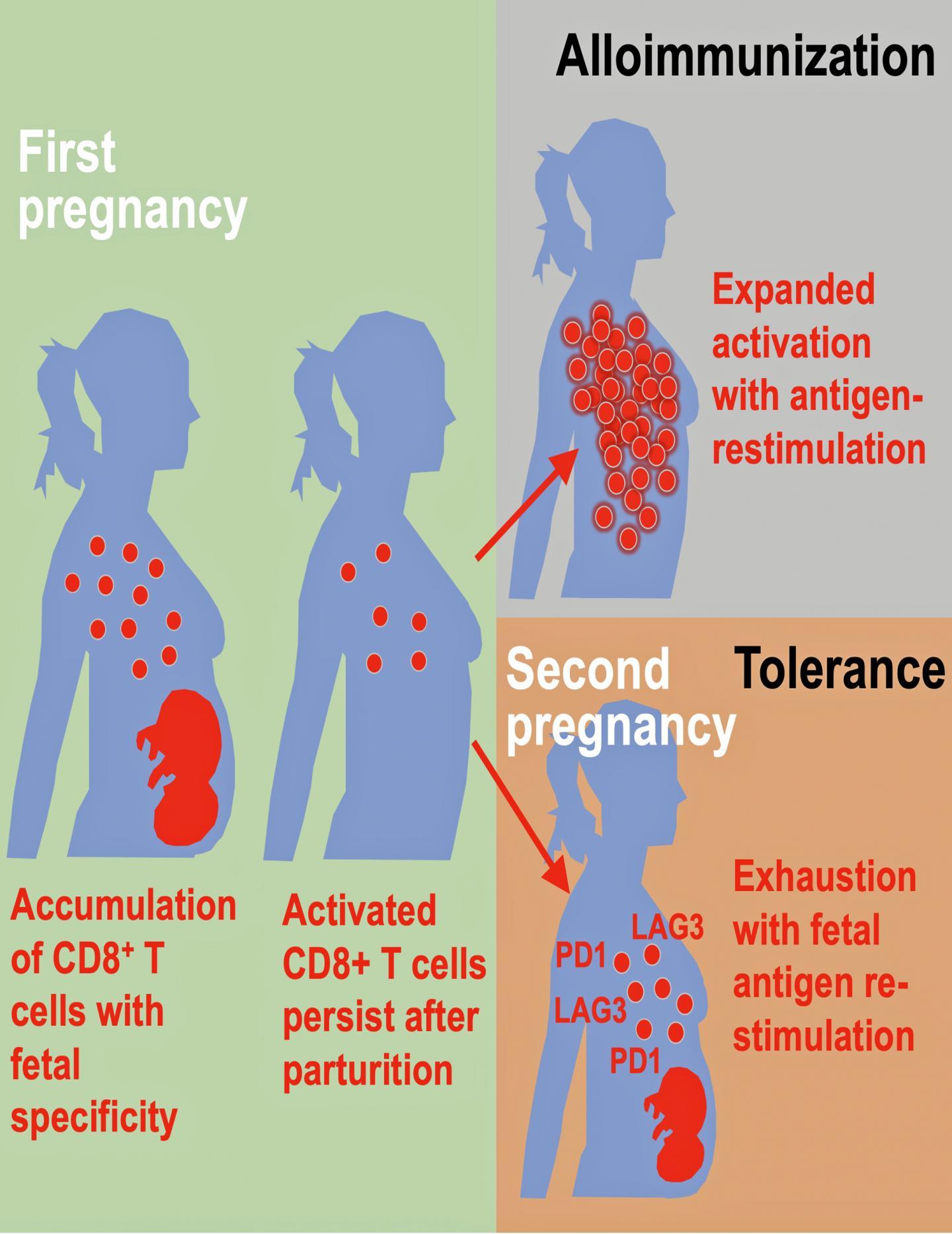 Maternal Balancing Act