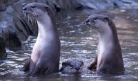 Smooth-Coated Otters