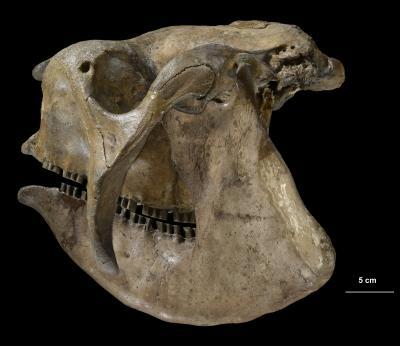 Glyptodon skull