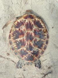Green Sea Turtle In Northern Great Barrier Reef
