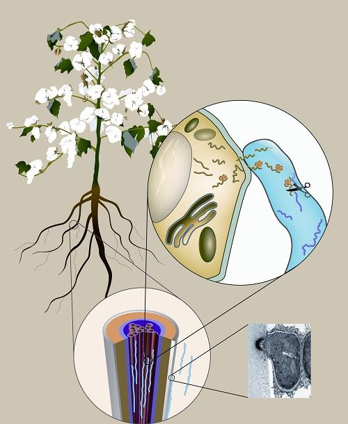 Trans-Kingdom Small RNAs Target <i>Verticillium dahliae</i> Genes During Plant-Microbe Interaction