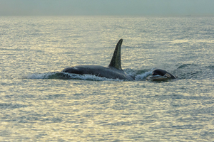 Young southern resident killer whale calf