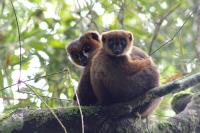 Lemur and Dad and Baby 2