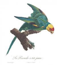 Carolina Parakeet, Illustration