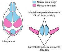 Evolution of Interparietal and Tabular Bones (2 of 2)