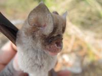 New Bat Species 2