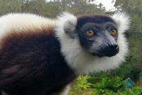 Varecia variegata white & black ruffed lemur