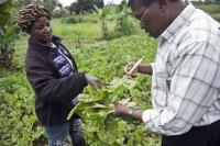 Kale Growers in Kenya