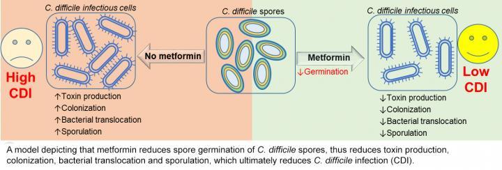 Metformin and C. difficile