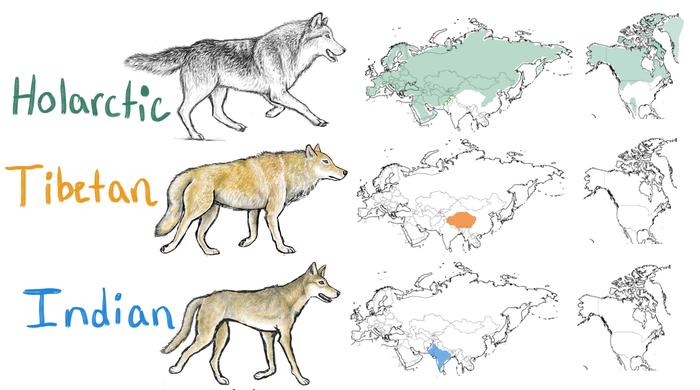 Gray wolf illustration