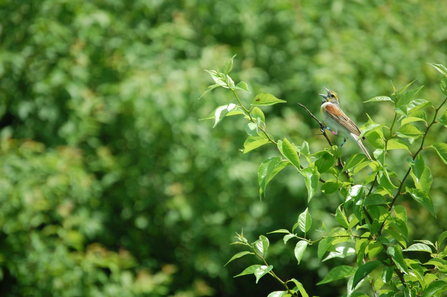 Dickcissel Parent Caught on Camera Committing Infanticide