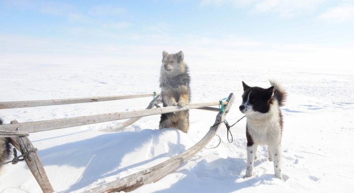 Working dogs of the Iamal-Nenets population in Siberia.