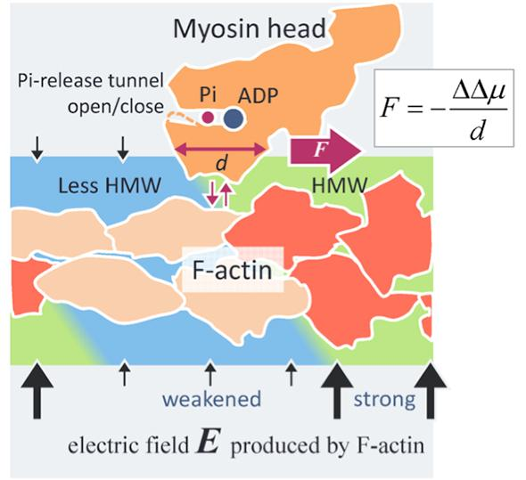 Novel Intermolecular Surface Force Reveals Actomyosin Driving Mechanism
