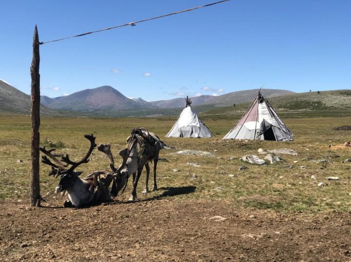 Saddled Reindeer