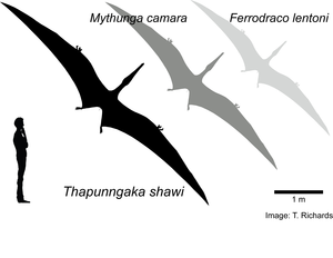 Hypothetical outlines of Australian pterosaurs showing relative wingspan sizes. 1.8 m human for scale.