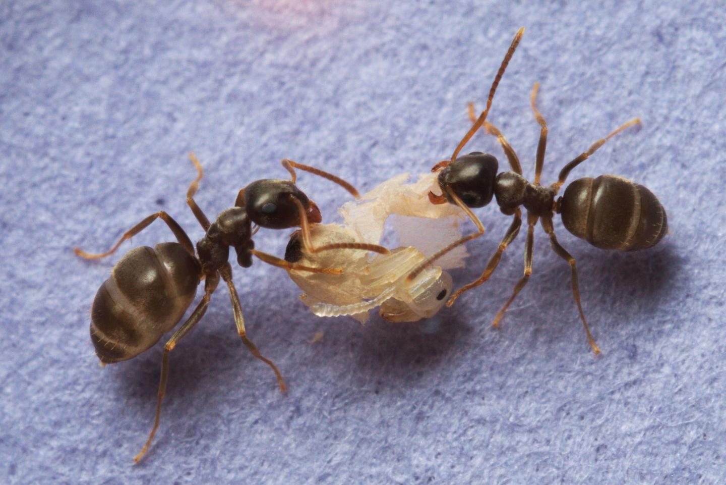 Ants Preventing an Epidemic