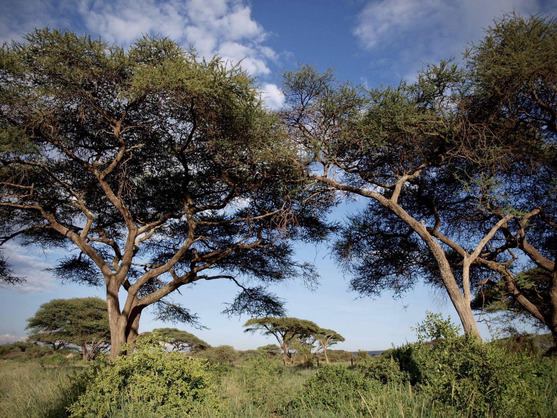 Trees in Savanna