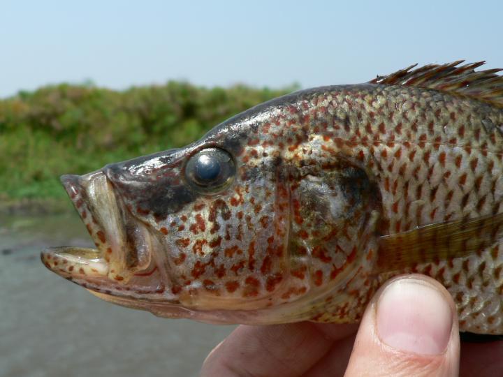 New Species of Cichlid Predator Fish