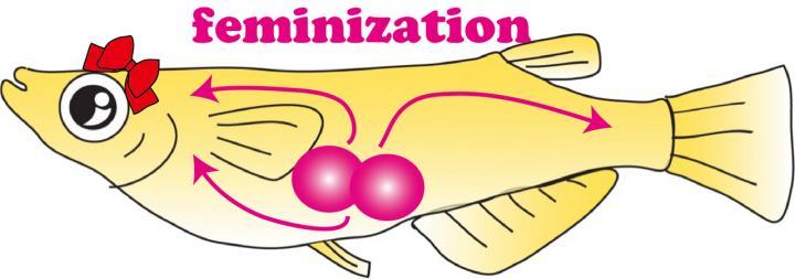 Identification of Cells that Determine the Female Gender in Teleost Fish (Medaka)