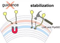 LAR and Ptp69D are Required for Axonal Stabilization