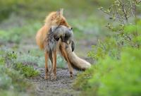 Fox Alisa and Ground Squirrel