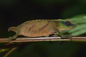 Chapman's pygmy chameleon 2